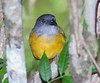 Gray-headed Tanager_07-08-14_0003