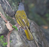 Gray-headed Tanager_07-08-10_0001