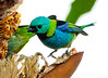 Green-Headed Tanager Igu_06-08-12_0012