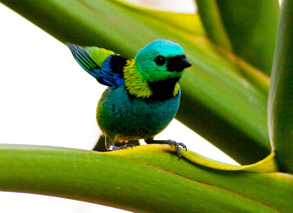 Green-Headed Tanager_06-08-12_0002