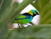 Green-Headed Tanager_06-08-12_0003