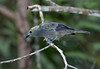 Palm Tanager_07-08-12_0002