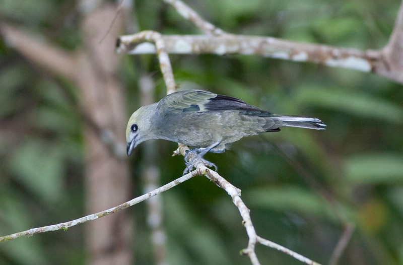 Palm Tanager_07-08-12_0001
