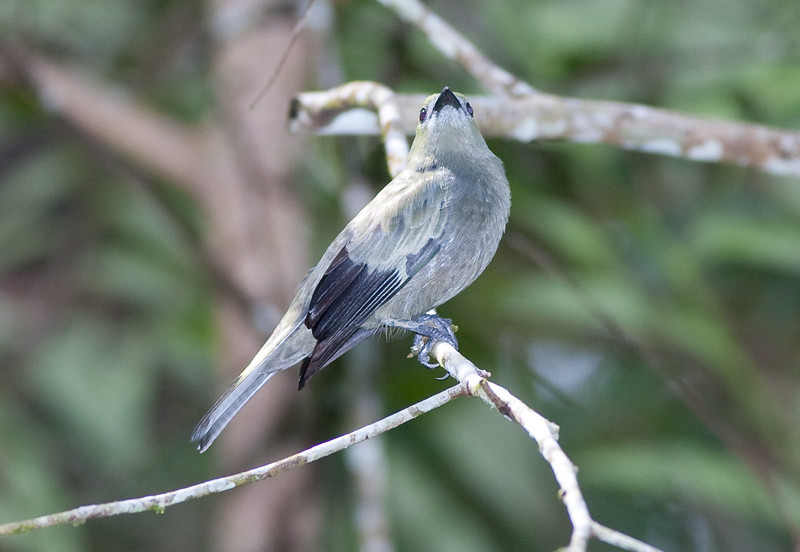 Palm Tanager_07-08-12_0004