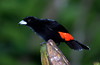 Scarlet-rumped Tanager_07-08-17_0008
