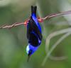 Red-legged Honeycreeper_14-10-10_IMG_8081-2