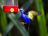 Red-legged Honeycreeper_14-10-11_IMG_8712-2