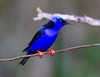 Red-legged Honeycreeper_14-10-11_IMG_8855-2