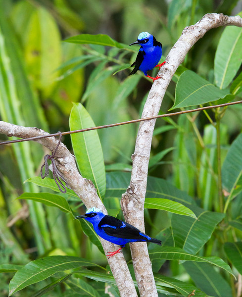 Red-legged Honeycreeper_14-10-12_IMG_9387-2