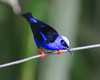 Red-legged Honeycreeper_14-10-11_IMG_8618-2