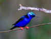 Red-legged Honeycreeper_14-10-11_IMG_8853-2
