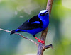 Red-legged Honeycreeper_14-10-10_IMG_8045-2