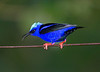 Red-legged Honeycreeper_14-10-10_IMG_7999-2