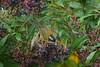 SootyCapBushTan Savegre_09-11-11_7I2B2764
