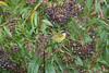 SootycapBushTan Savegre_09-11-14_7I2B3926