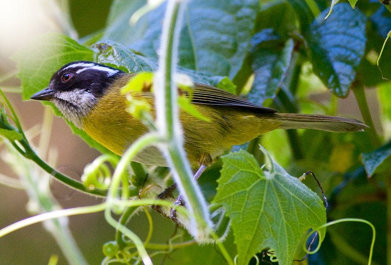 SootyCappedBushTanager CR_3_02-22-06