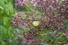 SootycapBushTan Savegre_09-11-14_7I2B3930