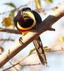 Chestnut-eared aracari_06-08-13_0005