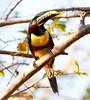 Chestnut-eared aracari_06-08-13_0008