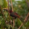 ChestnutEarAracari Pantanal_7I2B8456_10-09-23