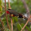 ChestnutEarAracari Pantanal_7I2B8457_10-09-23