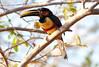 Chestnut-eared aracari_06-08-13_0010
