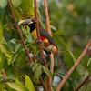 ChestnutEarAracari Pantanal_7I2B8455_10-09-23