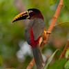 ChestnutEarAracari Pantanal_7I2B8459_10-09-23