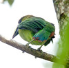 EmeraldToucanet Savegre_09-11-15_7I2B4253
