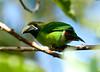 EmeraldToucanet Savegre_09-11-15_7I2B4113