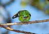 EmeraldToucanet Savegre_09-11-15_7I2B4095