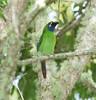 EmeraldToucanet Savegre_09-11-15_7I2B4288