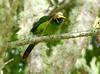 EmeraldToucanet Savegre_09-11-15_7I2B4278