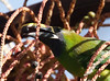 EmeraldToucanet Savegre_09-11-15_7I2B4072