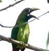 EmeraldToucanet Savegre_09-11-15_7I2B4264