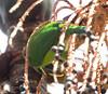 EmeraldToucanet Savegre_09-11-15_7I2B4231
