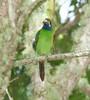 EmeraldToucanet Savegre_09-11-15_7I2B4283