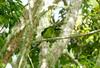 EmeraldToucanet Savegre_09-11-15_7I2B4275