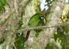 EmeraldToucanet Savegre_09-11-15_7I2B4287