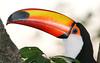 Toco toucan (26)_367_08-05-05