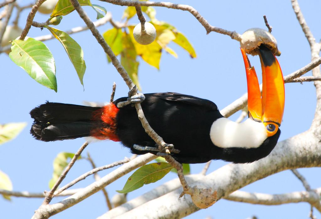 Toco toucan (22)_363_08-06-05