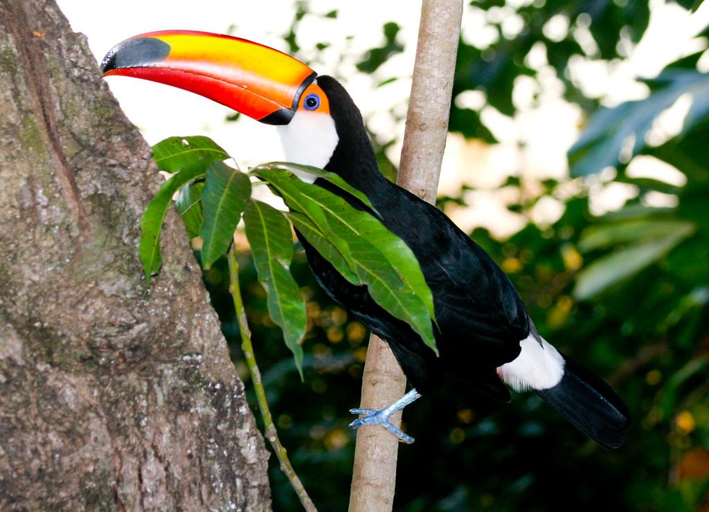Toco toucan (28)_369_08-05-05