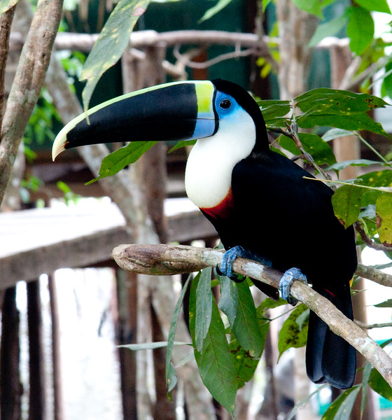 White-Throated Toucan Amz_06-08-17_0001
