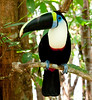 White-Throated Toucan Amz_06-08-17_0003