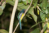 Black-throated_Trogon FBuenaVista_09_02_18_4640_39