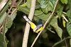 Black-throated_Trogon FBuenaVista_09_02_18_4642_41