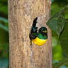 Black-throated_Trogon FBuenaVista_09_02_19_4722_79