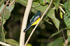 Black-throated_Trogon FBuenaVista_09_02_18_4641_40