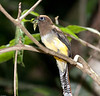 Black-throated_Trogon FBuenaVista_09_02_18_4603_11