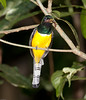 Black-throated_Trogon FBuenaVista_09_02_18_4639_38